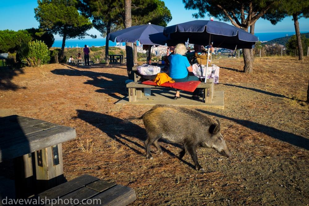 Porc Senglar, Parc Natural de Collserola